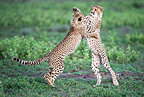 Young Cheetah cubs playing, Ndutu, Serengeti, Tanzania