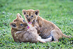 African Lion cubs playing, around 10 weeks old, Big Marsh, Ngorongoro, Tanzania