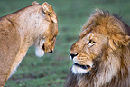 Male and female African Lion at Big Marsh, Ndutu, Serengeti, Tanzania