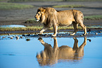 Male African Lion showing reflection at Big Marsh, Ngorongoro, Serengeti, Tanzania