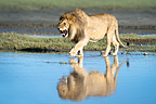 Male African Lion showing reflection at Big Marsh, Ndutu, Serengeti, Tanzania