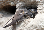 Sand martin feeding young at nest opening, Hedmark Co Norway