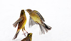 Yellowhammers flying up in winter, Sweden