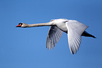 Mute swan flying against blue sky, spring, Norway