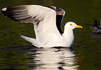 Lesser black-backed gull on water surface