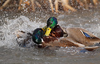 Mallard duck males fighting in spring, Sweden