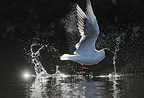 Black-headed gull flying up, spring, Norway