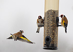Goldfinches at feeding station, Sweden, winter