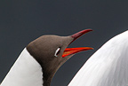 Black-headed gull study, spring, Norway