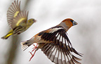Hawfinch and siskin flying up, spring, Sweden