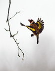 Goldfinch flying at feeding station, Sweden, winter