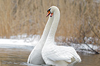 Mute swan couple, mating, March Sweden