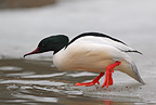 Goosander, on ice edge, Sweden, spring