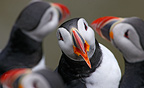Puffins portraits, Lofoten islands, Northern Norway