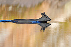Roe deer swimming over lake, spring, Norway