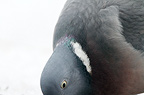 Wood pigeon, portrait, spring against snow, Sweden