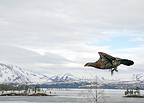 Capercaillie female flying against landscape, Northern Norway