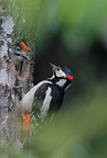 Great spotted woodpecker female feeding young, Norway