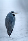 Grey heron resting on ice, winter, Sweden