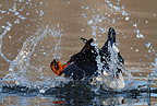 Goldeneye male mating game splashing water Norway
