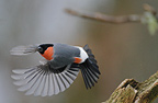 Bullfinch male flying up