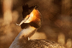 Great crested grebe portrait, spring, Norway