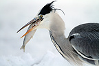 Gray heron with fish on snow, Sweden