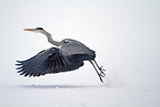 Gray heron flying up on snow, Sweden
