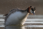 Great crested grebe, spring, Norway