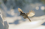 Crested tit flying in winter landscape, Norway