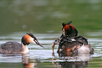 Great crested grebe feeding young, spring, Norway