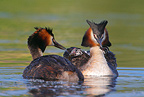 Great crested grebe feeding young, Norway