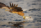 White-tailed eagle taking fish from water surface, Norway