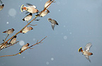 Waxwings flock flying up, in winter Norway