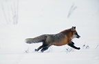 Fox running in winter, Sweden