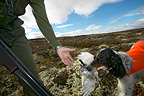 Grouse hunting, dog and hunter with shot willow grouse Kvikne, Norway,