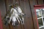 Grouse hunting, hunter's cottage with shot willow grouse Kvikne, Norway,