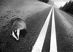 Stripes, road-killed badger at double road lines, Sweden