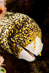 Snowflake moray, Gangga Island Resort, North Sulawesi, Indonesia, Pacific Ocean