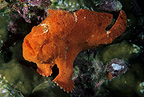 Giant or Commerson's frogfish, Cocos Island, National Park, Natural World Heritage Site, Costa Rica, East Pacific Ocean