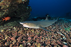 Whitetip reef shark, Cocos Island, National Park, Natural World Heritage Site, Costa Rica, East Pacific Ocean