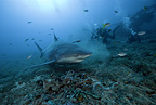 Scuba divers and Zambesi shark, Santa Lucia, Camaguey, Cuba, Caribbean Sea, Atlantic Ocean