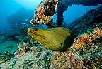 Green moray, Santa Lucia, Camaguey, Cuba, Caribbean Sea, Atlantic Ocean