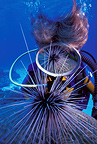 Scuba diver with sea urchin reflecting on the mask, Isla de la Juventud, Cuba, Caribbean Sea, Atlantic Ocean