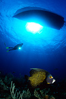 Scuba diver and French Angelfish, boat silhouette at the surface