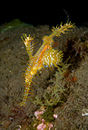 Ornate ghost pipefish, Dumaguete, East Negros Island, Central Visayas, Philippines, Pacific Ocean