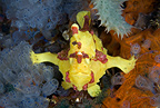 Clown anglerfish / frogfish, Chapel Reef, Apo Island, Dumaguete, East Negros Island, Central Visayas, Philippines, Pacific Ocean