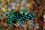 Couple of nudibranch, Chapel Reef, Apo Island, Dumaguete, East Negros Island, Central Visayas, Philippines, Pacific Ocean