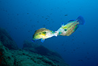 Couple of male peacock wrasse fighting for territory, Secca delle Secche, Giglio Island, Tuscany Archipelago, Tuscany, Italy