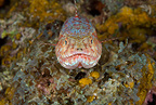 Variegated lizardfish, Han Reef dive site, Gili Air, Lombok, Indonesia, Pacific Ocean